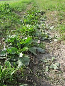 Plantago Major, Braodleaf Plantain, Greater Plantain