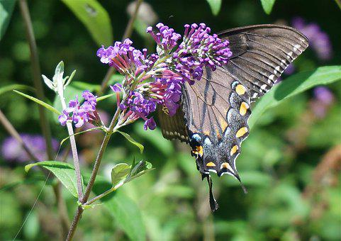 Black Swallowtail Butterfly, Butterfly Bush, Butterfly