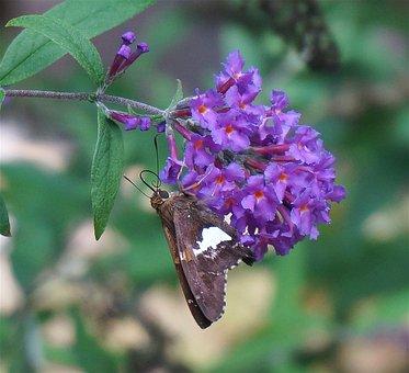 Silver-spotted Skipper, Butterfly, Butterfly Bush