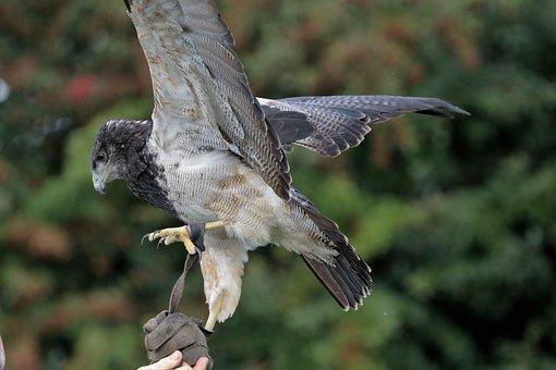 Chilean Blue Eagle, Eagle, Black-chested, Chilean, Bird