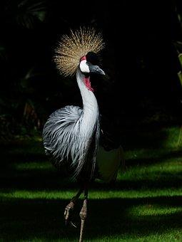 Grey Crowned Crane, Bird, Animal, Crane