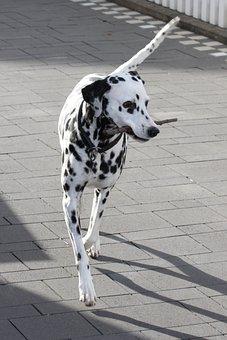 Dalmatians, Dog, Animal, Animal Portrait, Dog Breed