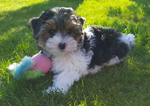 Yorkshire Terrier, Biewer Terrier, Puppies, Dog Breed
