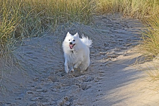Japanese, Spitz, Dog, Puppy, Purebred, Cute, Canine