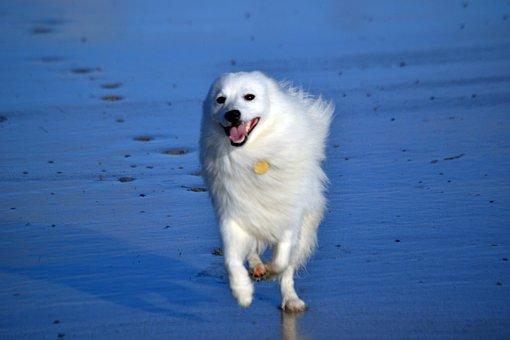Japanese, Spitz, Dog, Puppy, Purebred, Cute, White
