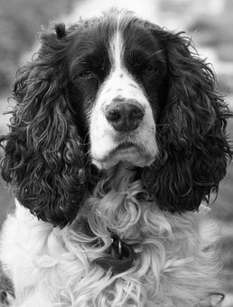 Dog, Spaniel, Springer, Springer Spaniel