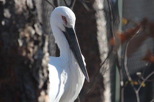 Stork, Far Eastern, Beak, Gray Background, Autumn