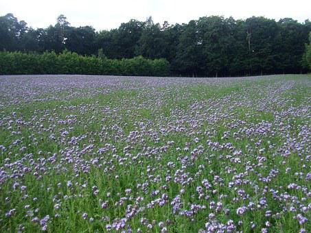Meadow, Flower Meadow, Phacelia, Water Leaf Green