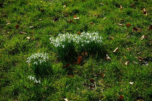 Snowdrop, Snowdrop Clump, Tufts, Meadow, Flowers