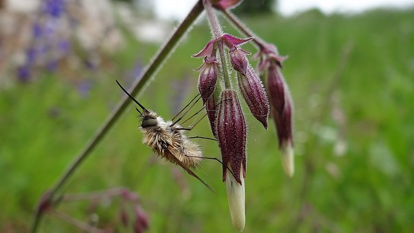 Insect, Bombyliidae, Fly, Bombylius Major