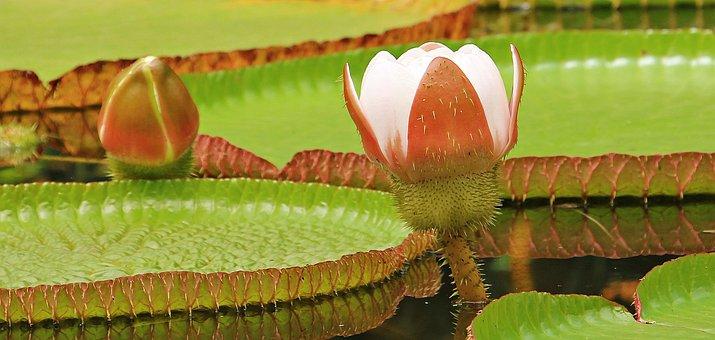 Water Lily, Giant Water Lily, Giant Water Lily Bud