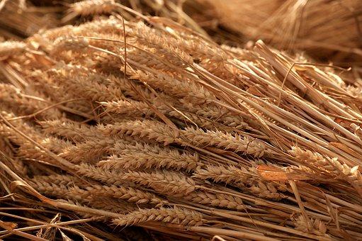 Grain Harvest, Summer, Tufts, Cereals, Nature, Grains