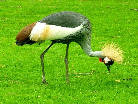 Grey Crowned Crane, Crane, Bird, Spring Crown