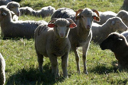 Sheep, Lamb, Animals, Animal, Herd, Summer, Breeding