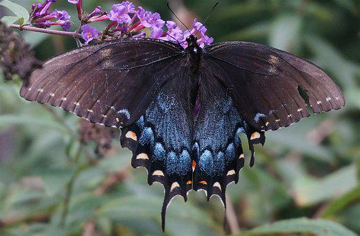 Hybrid Black Swallowtail Butterfly