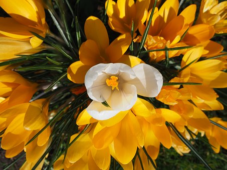 Crocus, White, Individually, Centrally, Central