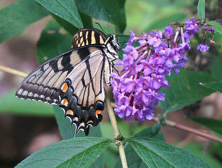 Tiger Swallowtail, Butterfly Bush, Butterfly, Insect
