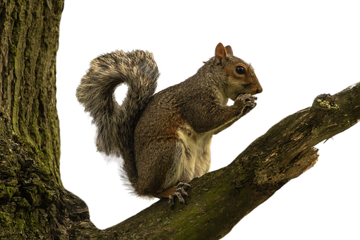 Squirrel, Isolated, White, Animal, Wild, Wildlife