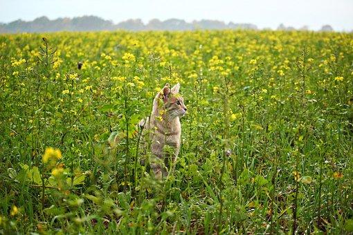 Cat, Kitten, Mieze, Flowers, Field, Mustard, Bees