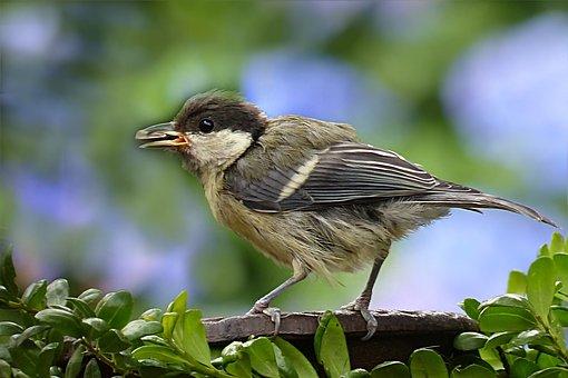 Animal, Bird, Kohlmeise Young, Parus Major, Feeding