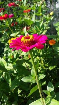 Zinnia, Majors, Panyči, Flowers, Summer, Garden