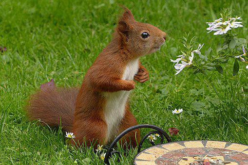 Mammal, Squirrel, Sciurus Vulgaris Major, Garden