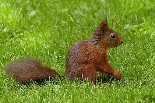 Squirrel, Sciurus Major, Mammal, Foraging, Garden