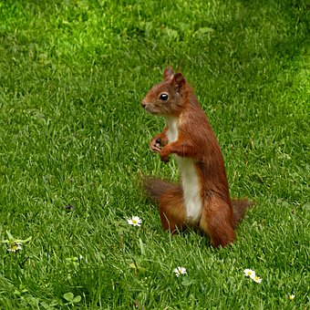 Squirrel, Sciurus Vulgaris Major, Mammal, Mindfulness