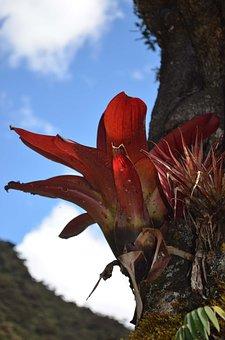 Bromelia, Bromeliaceae, Montane Forest