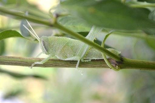 Cricket, Nature, Grasshopper, Insect, Wildlife, Natural