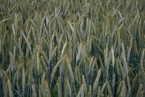 Barley, Hops, Immature, Cereals, Agriculture, Nature