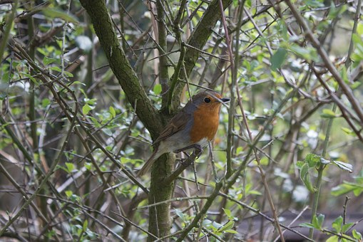 Robin, Bird, England, Tree, Red Chest, Wildlife, Nature