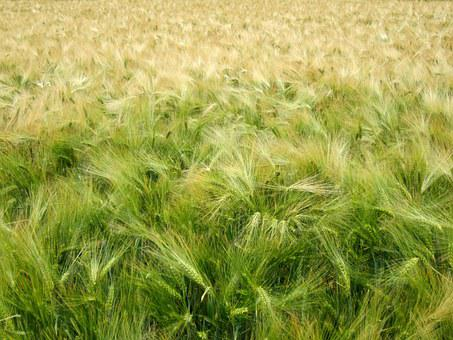 Cereals, Harvest, Green, Wheat, Wheat Field, Oats