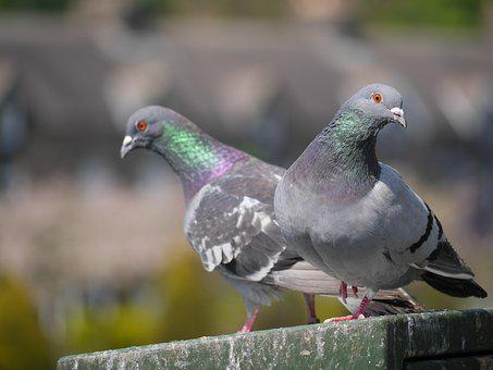 Pigeon, Bird, Pair, Park, Breed, Ornithology, Color