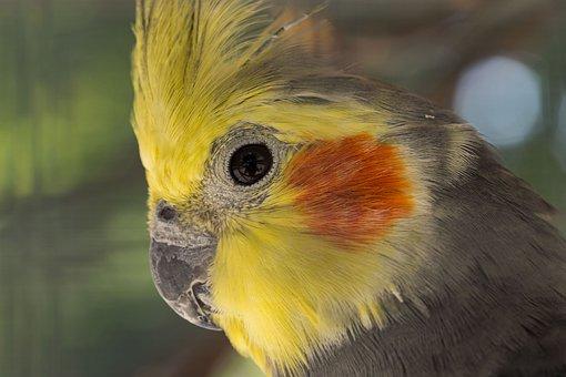 Parakeet Nymphique, Nymphicus Hollandicus