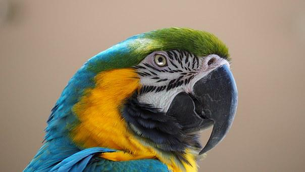Macaw, Blue, Yellow, Bird, Beak, Animal, Parrot, Nature