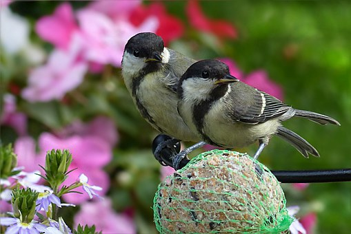 Great Tits, Parus Major, Bird, Young, Foraging, Garden