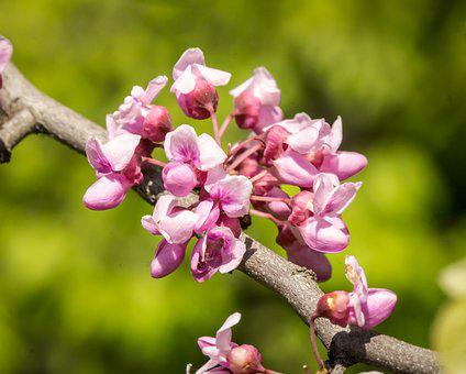 Eastern Red Buds, Spring, Pink, Clusters, Macro