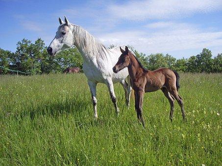 Pure Arab Blood, Horse, Horse Breeding, Pre, Foal