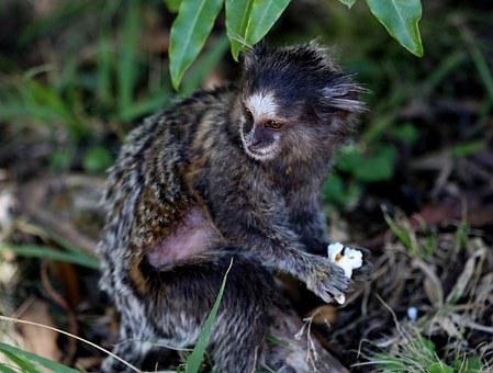 Marmoset White Tufts, Forest, Primate, Forest Park