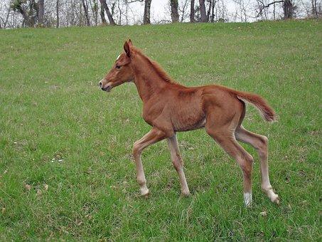 Foal, Pure Arab Blood, Horse, Prairie, Horse Breeding
