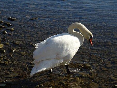 Swan, Water, Nature, River, Lake, Summer, Animal, Bank