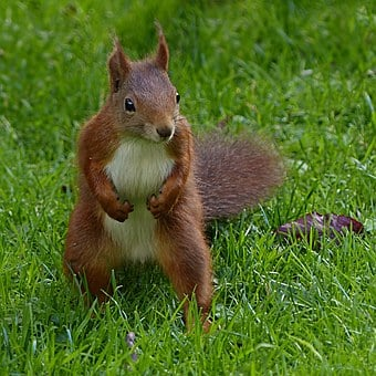 Squirrel, Sciurus Vulgaris Major, Mammal, Young