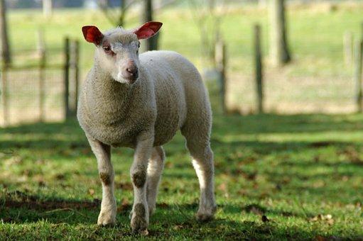 Lamb, Sheep, Nature, Breeding, Farm Animals