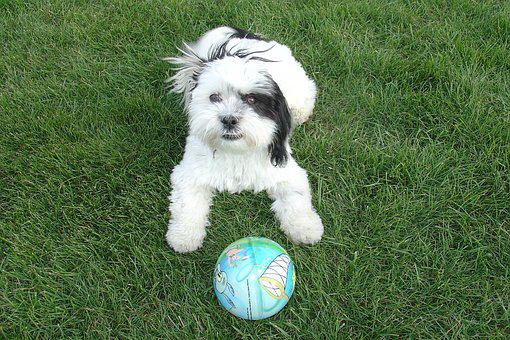 Shih Tzu, Dog, Playing, Backyard, Green Grass, Ball