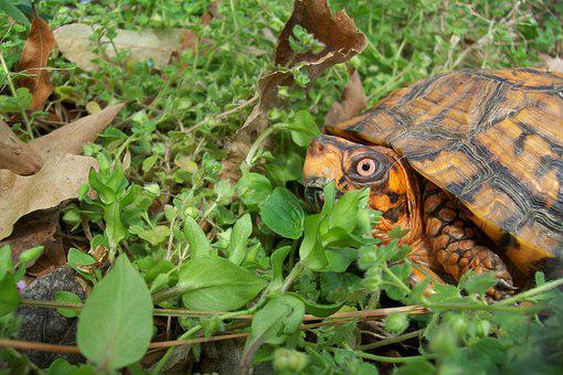 Box Turtle, Spring, Outdoors, Orange, Shell, Natural