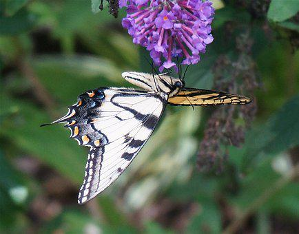 Tiger Swallowtail, Upside-down, Butterfly Bush