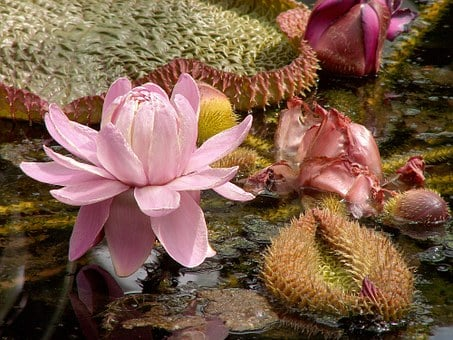 Lily, Water Lily, Victoria Lily, Water, Leaf, Plant