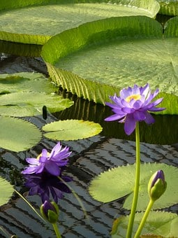 Water-lily, Waterlily, Water Lily, Giant, Pond, Lake