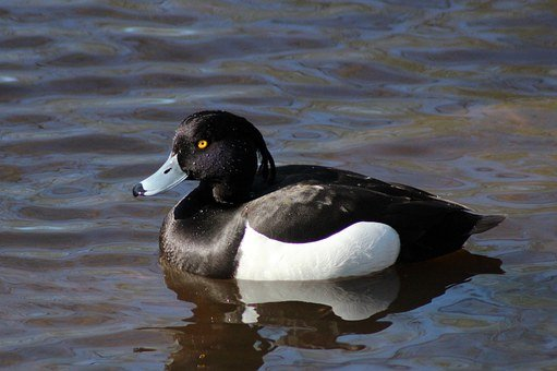 Duck, Tufted, Tufted Duck, Male, Bird, Nature, Water